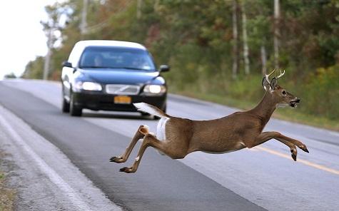 Sokba kerülhet a közúti vadgázolás